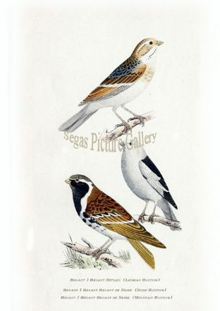 Bunting, Lesbian, Snow Bunting & Mountain Bunting Ref: EuropeanBirds-e57